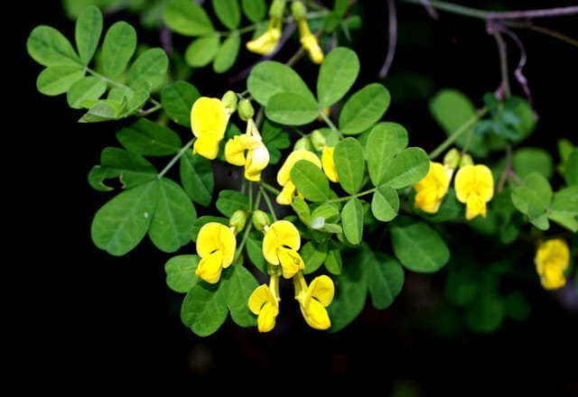 SCANNA GADDINI  overo la  Coronilla emerus