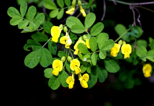Scannagaddini,  overo la  CORONILLA  EMERUS
